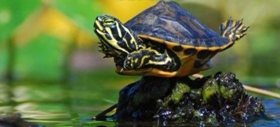 Flying Turtle photo - Turtle diving into water