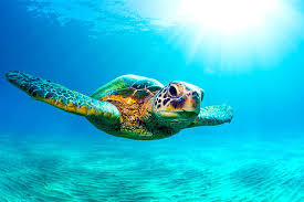 photo flying turtle